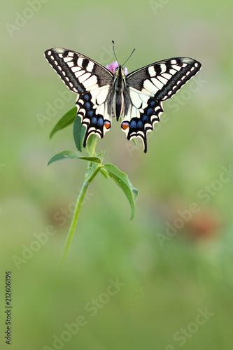 Schwalbenschwanz  - Papilio machaon - 212606896