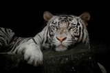 close up of a white tiger - 212609482