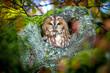 Leinwanddruck Bild - Waldkauz - Strix aluco