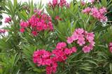 Oleander (Nerium oleander),  Busch mit Blüten - 212610441