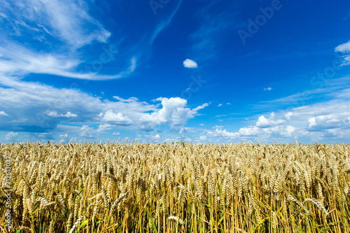 Foto Murales golden wheat field and sunny day