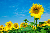 Sunflower field with cloudy blue sky - 212614428