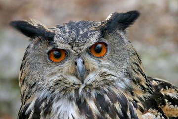 Portrait European eagle owl (Bubo bubo), look at camera