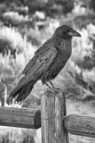 Crow in National Park, USA - 212623006