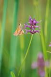 papillon marron et orange sur fonds vert posé sur une fleur - 212630055