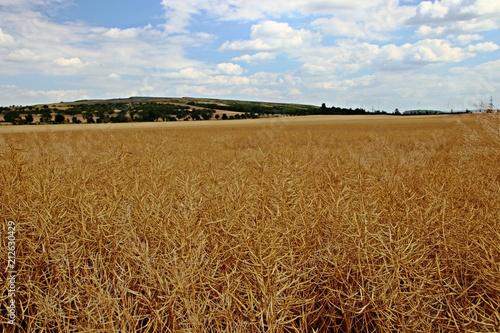 Fototapeta Rapsfeld vor der Ernte