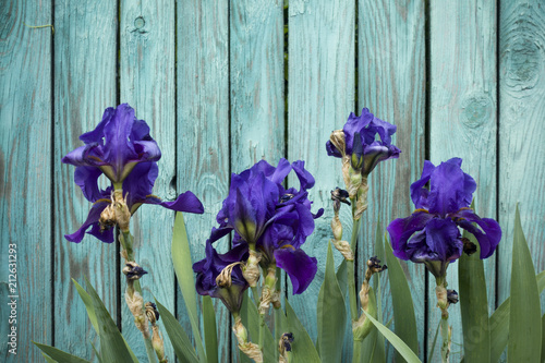 Fotobehang Iris Purple blossoming iris flowers on a turquoise wooden fence background