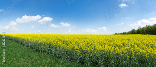 Fototapeta Panorama - Diagonales, gelb blühendes Rapsfeld