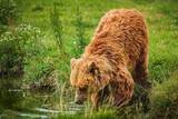 European brown bear - 212637653