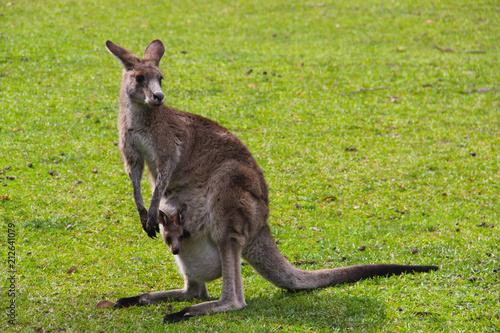 Plexiglas Kangoeroe Kangoroo Wildlife Australia Wallaby