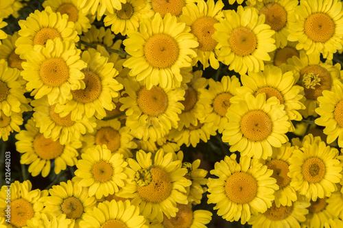 Yellow daisies, summer flowers