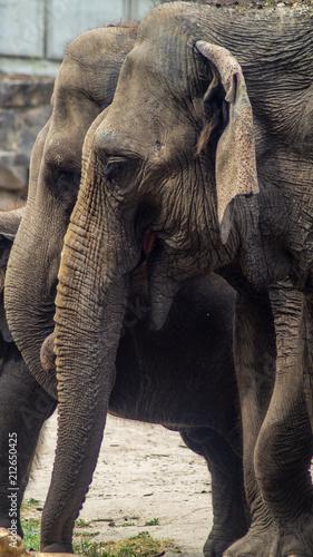 Obraz na płótnie Elefanten