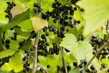 Blackcurrant grows in a garden - 212651439
