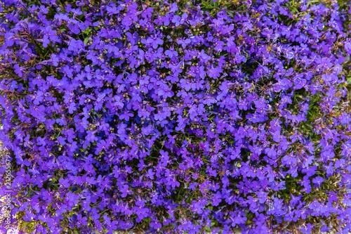 małe fioletowe kwiaty