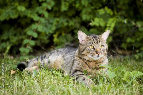 Fotobehang Kat Getigerte Katze liegt im Gras