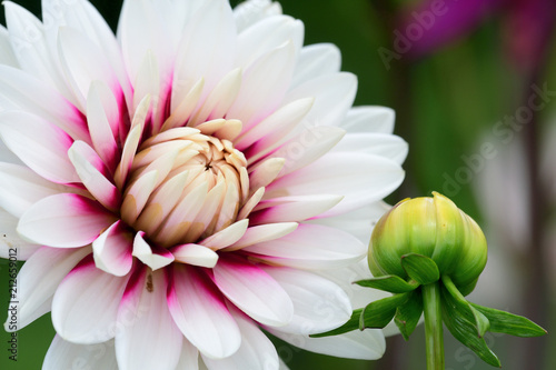 Pink and white dahlia