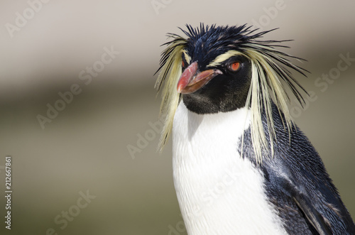 Fotobehang Pinguin Close Up of a Rockhopper Penguin