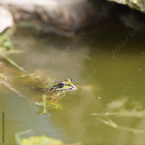 Fotobehang Kikker Green frog