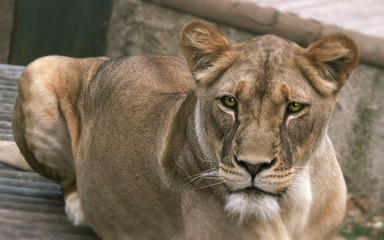 Lioness (Panthera leo), close up