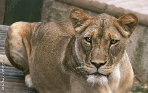Fotobehang Lion Lioness (Panthera leo), close up