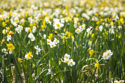Fototapeta Daffodil flower or Lent lily, Narcissus pseudonarcissus, blooming in Dutch flower fields Drethe, the Netherlands.