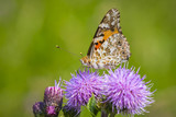 Painted Lady butterfly, vanessa cardu, feeding