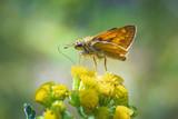 large skipper Ochlodes sylvanus butterfly pollinating - 212672442