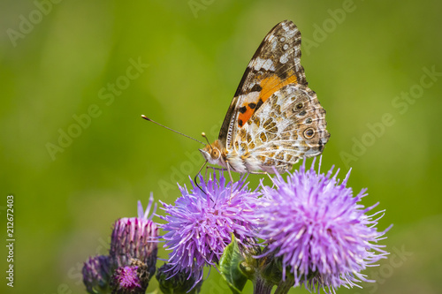 Painted Lady butterfly, vanessa cardu, feeding - 212672403