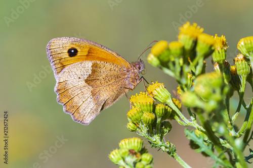 Brown łąkowy motyl Maniola jurtina karmi nektar