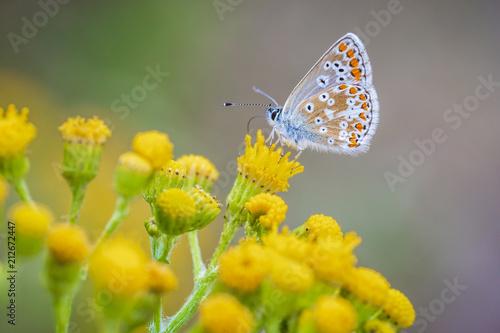 brązowy motyl Argus, Aricia agestis, zapylających na żółte kwiaty