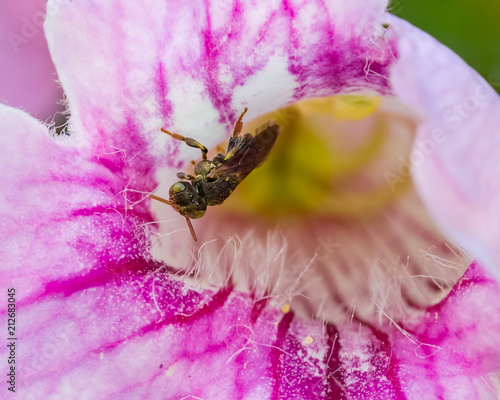 Aluminium Bee Stingless Bee working inside a Pink Flower (