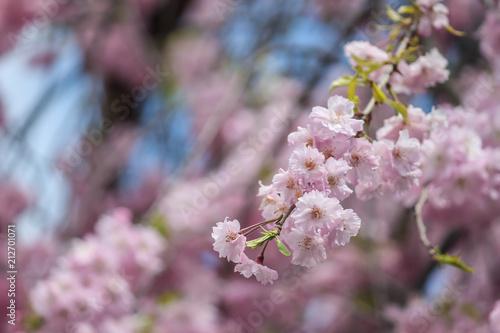 Fototapeta beautiful pink sakura, cherry blossom