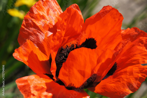 Foto Murales Papaver orientale or oriental poppy red with black flower head close up
