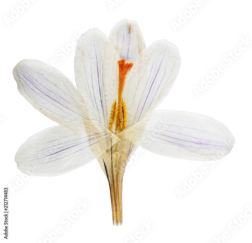 Pressed and dried flower Crocus , isolated on white