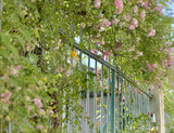 entrance gate of a house   surrounded with a climbing rose - 212721419