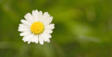 Flowering daisy from close-up on green background. Picture from summer meadow.