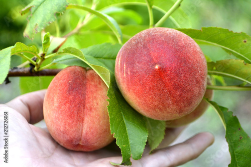 Foto Murales Peaches on a branch and in hand