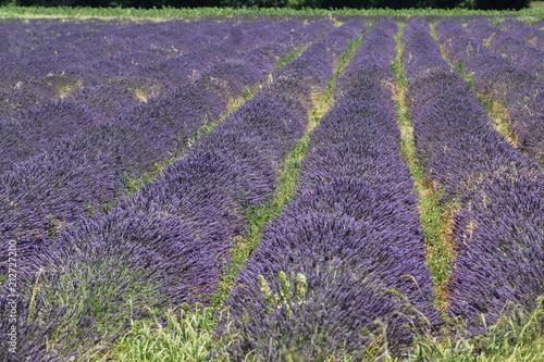 Fotobehang Lavendel rose