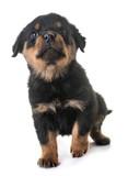 puppy rottweiler in studio - 212732842