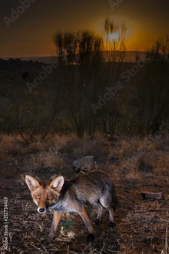 Plexiglas Zonsopgang Red fox (Vulpes vulpes) in the field.