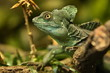 Leinwanddruck Bild - Amazing  basilisk in the nature habitat. Wild animals in captivity. Beautiful tropical reptile. Deep green dragon on a tree. Basiliscus plumifrons.
