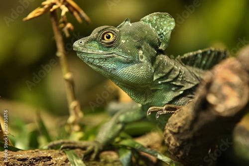 Leinwanddruck Bild Amazing  basilisk in the nature habitat. Wild animals in captivity. Beautiful tropical reptile. Deep green dragon on a tree. Basiliscus plumifrons.