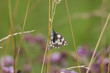 Melanargia galathea on the blossom of a thistle plant