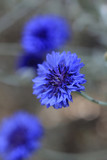 Kornblume (Cyanus segetum) blaue Blüten
