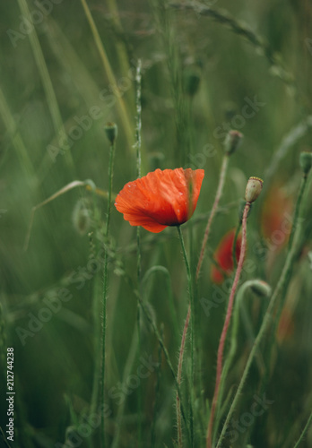 Fototapeta red poppies growing field green spike agriculture