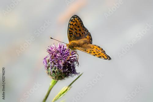 Schmetterling / Perlmutterfalter - 212746290