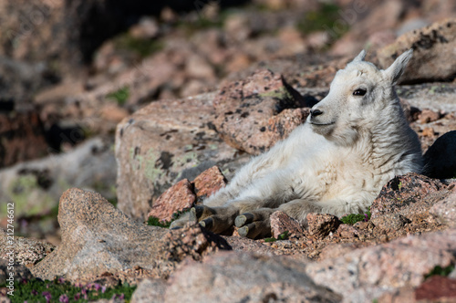 Foto Murales Adorable Baby Mountain Goat Lamb At The Top Of Mount Evans