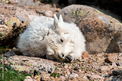 Fotobehang Wolf An Adorable Baby Mountain Goat Lamb on A Rocky Mountain Top