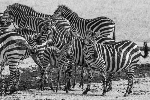 Fototapeta Herd of Zebras