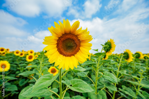 Aluminium Natuur Sunflowers summer nature landscape